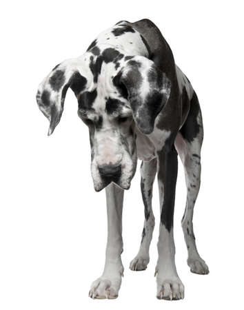 look out: Harlequin Great Dane, 5 years old, standing against white background Stock Photo
