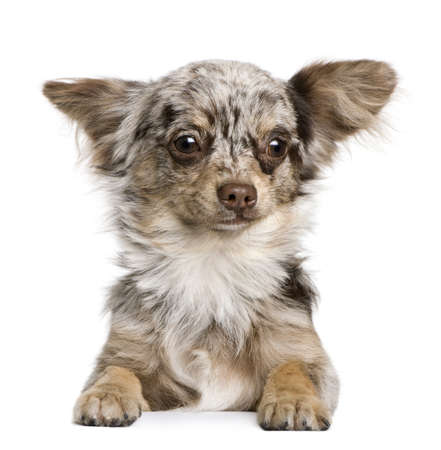 Chihuahua puppy, 8 months old, looking at the camera against white background Stock Photo - 7251446