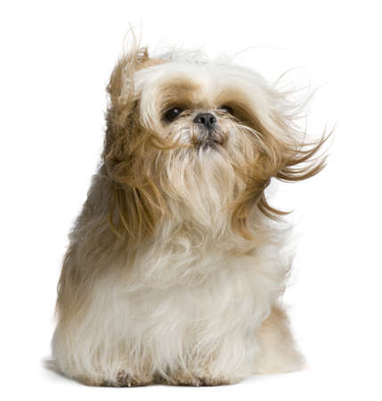 windswept: Shih Tzu, 18 months old, windswept and sitting against white background