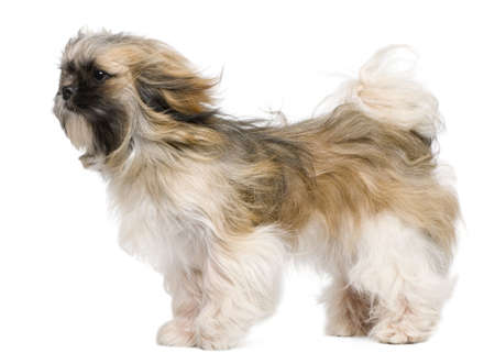windswept: Shih Tzu, 1 year old, windswept and standing against white background