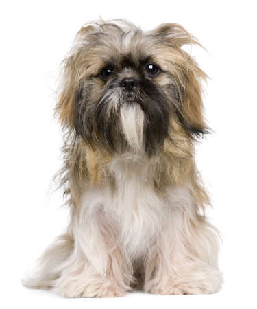shih tzu: Shih Tzu, 1 year old, sitting against white background