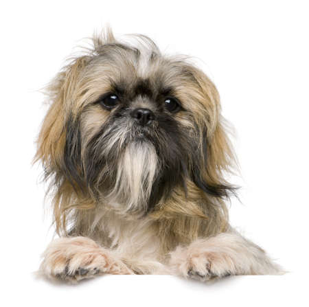 shih tzu: Shih Tzu, 1 year old, against white background