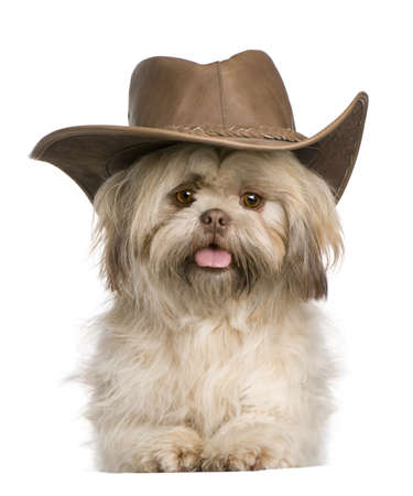 shih: Shih Tzu, 3 years old, wearing hat against white background