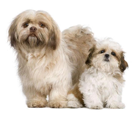 shih tzu: Mother Shih Tzu and her puppy, 3 years old and 3 months old, against white background