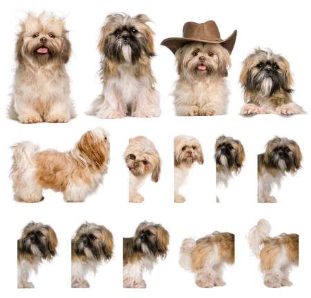 perros vestidos: Montaje de grupo de shih Tzu, 3 a�os de edad, sobre fondo blanco