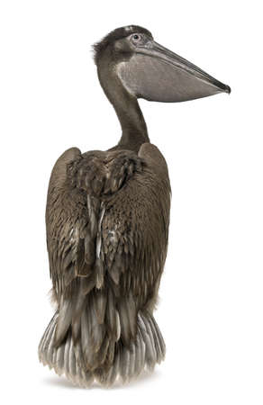 Young pink-backed pelican, 2 months old, standing in front of white background photo