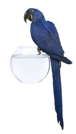 Hyacinth Macaw, 1 year old, perched on an aquarium against white background photo