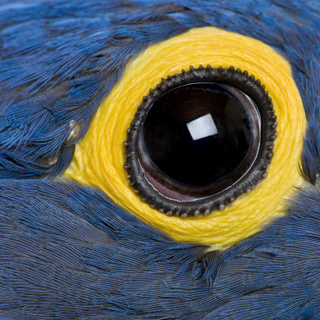 1 year old: Hyacinth Macaw, 1 year old, close up on eye