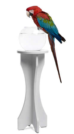 Red-and-green Macaw perching on empty fish bowl in front of white background Stock Photo - 7250607
