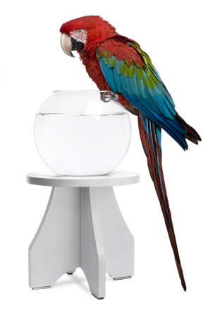 Red-and-green Macaw perching on empty fish bowl in front of white background Stock Photo - 7250572