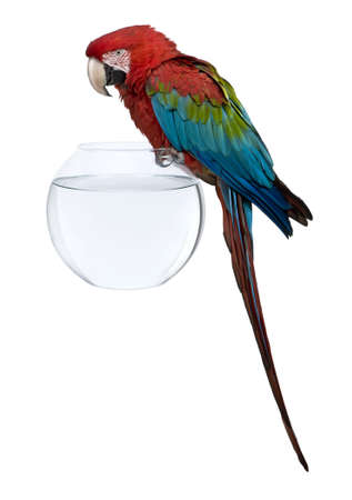 Red-and-green Macaw perching on empty fish bowl in front of white background Stock Photo - 7250575