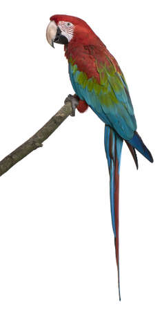 Red-and-green Macaw perching on branch in front of white background photo