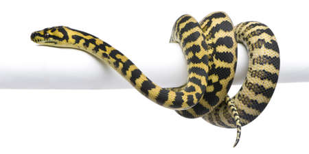 1 year old: Morelia spilota variegata python, 1 year old, on pole in front of white background