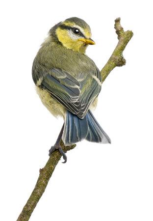 blue tit: M�sange bleue, 23 jours, d�f�quer sur la branche sur fond blanc  Banque d'images