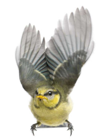 Blue Tit, 23 days old, flapping wings against white background photo