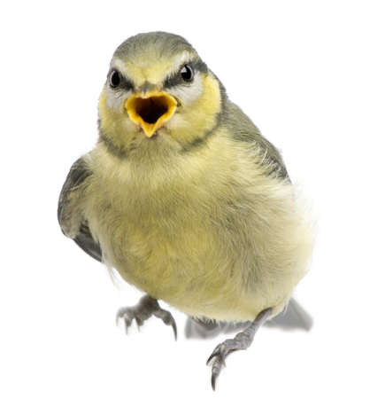 Blue Tit, 23 days old, perched against white background photo