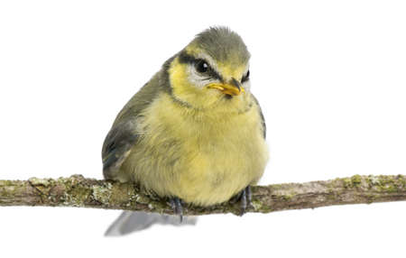 cyanistes: Blue Tit, 23 days old, perching on branch against white background