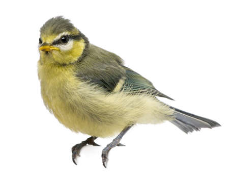 cyanistes: Blue Tit, 23 days old, perched against white background