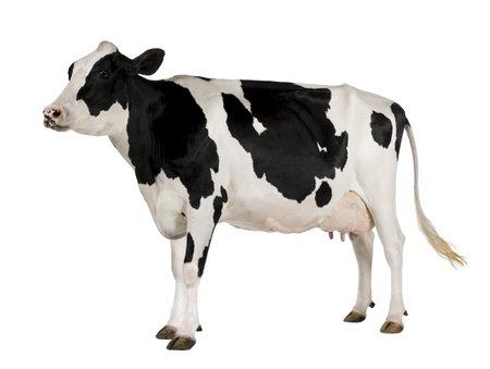 lacteos: Vacas Holstein, 5 a�os de edad, de pie sobre fondo blanco  Foto de archivo