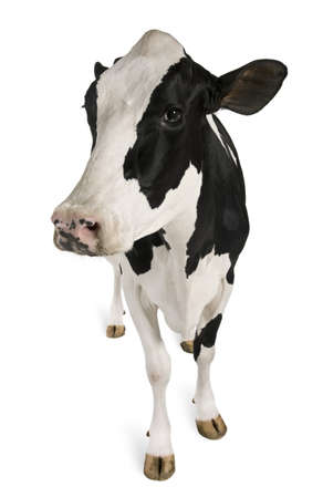 Holstein cow, 5 years old, standing against white background Stock Photo - 7251025