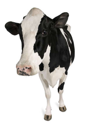 cow: Holstein cow, 5 years old, standing against white background