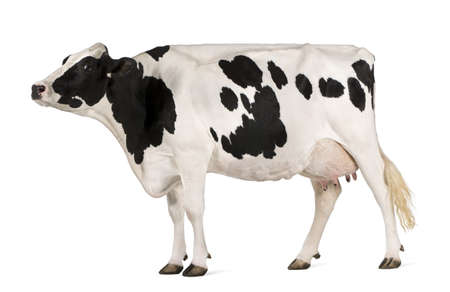 Holstein cow, 5 years old, standing against white background Stock Photo - 7251222