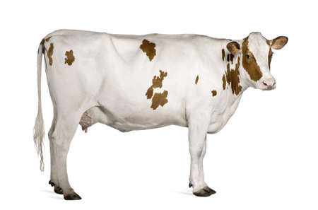 ganado: Vacas Holstein, 4 a�os de edad, de pie sobre fondo blanco  Foto de archivo