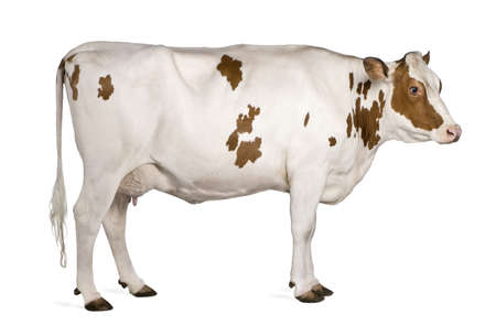cow farm: Holstein cow, 4 years old, standing against white background