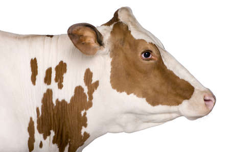 holsteine: Holstein cow, 4 years old, standing against white background