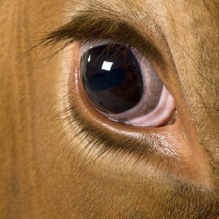 hoofed animal: Las vacas Holstein, 4 a�os de edad, mirando a c�mara, close up en ojo