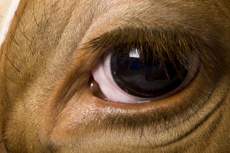 holsteine: Holstein cow, 4 years old, looking at camera, close up on eye