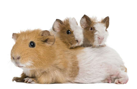 Mother Guinea Pig and her two babies against white background photo