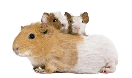 guinea pig: Mother Guinea Pig and her two babies against white background
