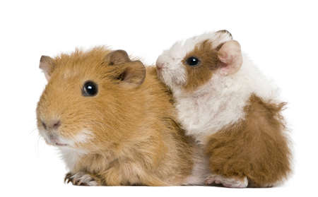 Mother Guinea Pig and her baby against white background photo