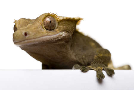 crested gecko: New Caledonian Crested Gecko against white background
