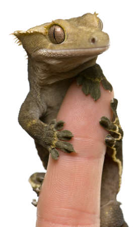 fingertip: New Caledonian Crested Gecko on fingertip against white background