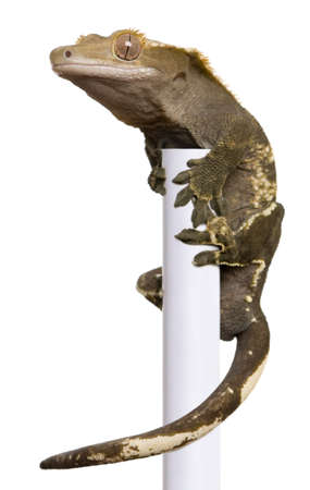 crested gecko: New Caledonian Crested Gecko climbing white pole against white background