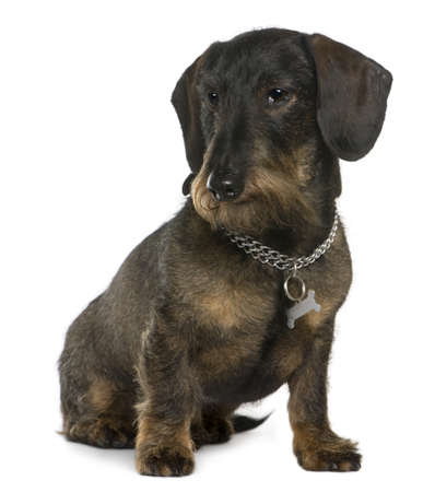 11 years: Dachshund, 11 years old, sitting in front of white background Stock Photo