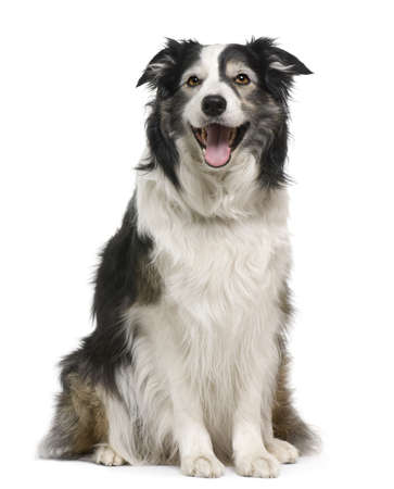 sitting dog: Border collie, 3 years old, lying in front of white background