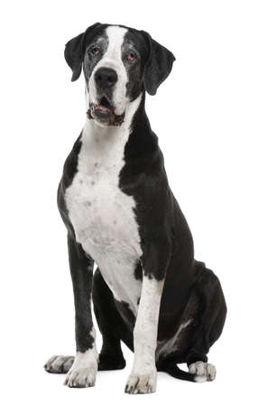Great Dane, 7 years old, sitting in front of white background photo
