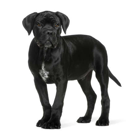 cane corso: Cane corso puppy, 3 months old, standing in front of white background Stock Photo