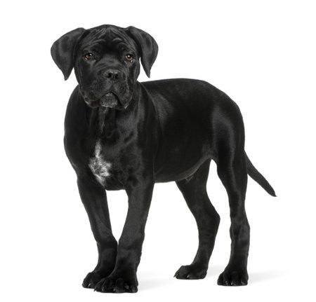 cane corso: Canna corso cucciolo, 3 mesi di et�, in piedi davanti a sfondo bianco