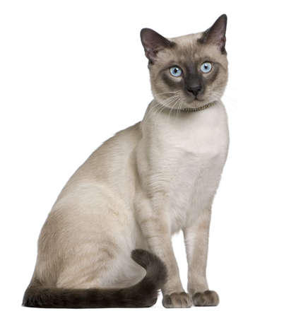 siamese cat: Siamese cat, 8 months old, sitting in front of white background Stock Photo
