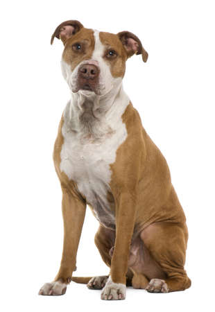 American Staffordshire terrier, 9 years old, sitting in front of white background Stock Photo - 7251078