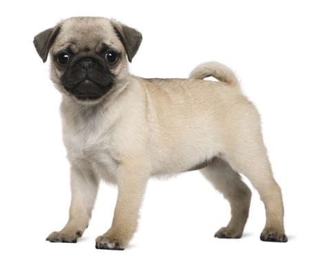 Pug puppy, 3 months old, standing in front of white background photo