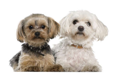 Maltese, 8 years old,, Yorkshire terrier, 12 months old, lying in front of white background photo