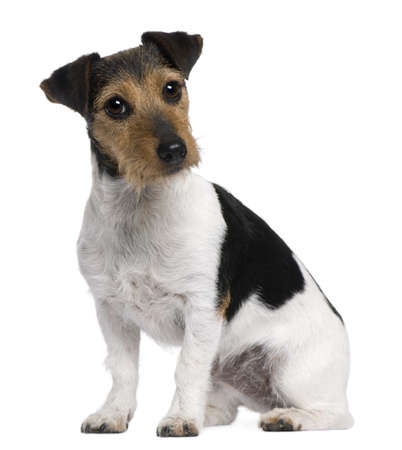 terriers: Jack Russell Terrier, 3 years old, sitting in front of white background