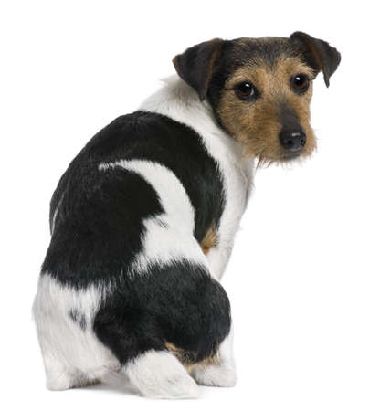 jack russell terrier: Jack Russell Terrier, 3 years old, sitting in front of white background