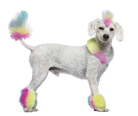 Poodle with multi-colored hair and mohawk, 12 months old, standing in front of white background photo