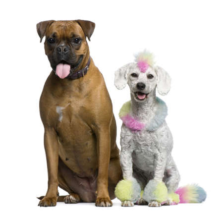 Poodle with multi-colored hair and mohawk, 12 months old, sitting with Boxer in front of white background photo